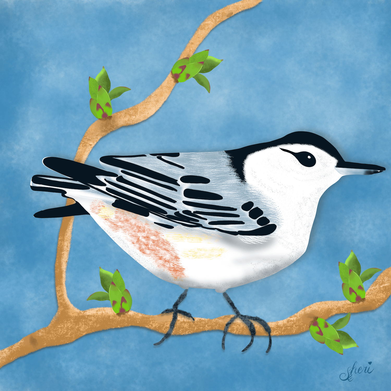 white-breasted nuthatch on budding lilac bush